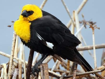黄头黑鹂图集