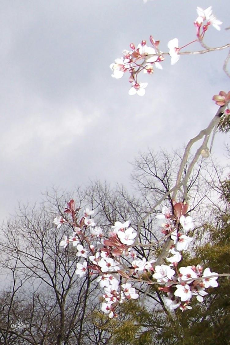 郁李风景图图片