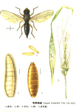 青稞穗蝇图片