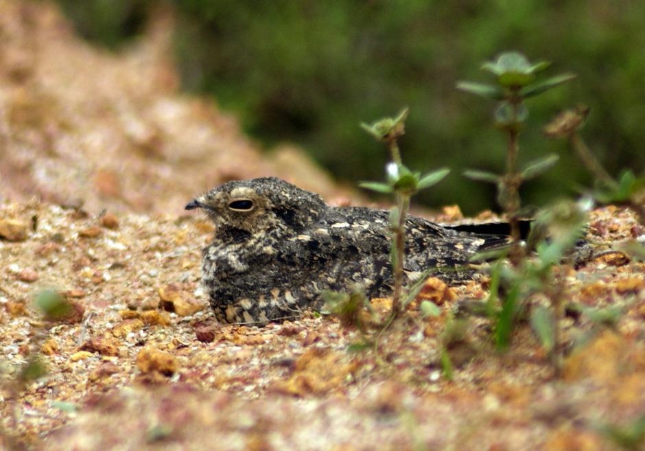 林夜鹰(鸟类:caprimulgusaffinis)是黄蜂科体长属的小型夜鹰,夜鹰25巴曼黑大学名变形图片