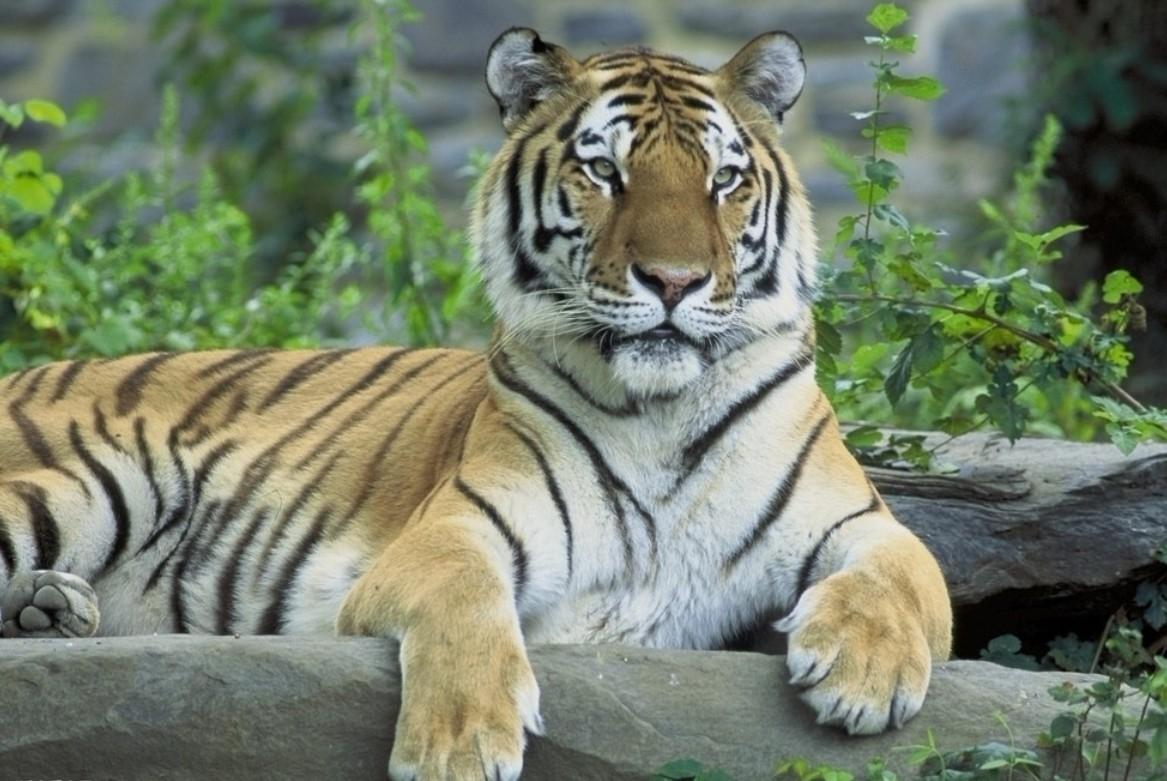 东北虎资料_东北虎捕食600公斤棕熊_东北虎对比狮子体型图
