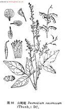 豆科植物一览4