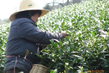 安吉白茶加工