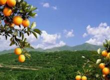 江西甜橙种植基地