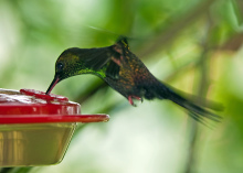 斑胸棕尾蜂鸟