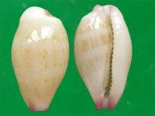 鼠齿宝螺(上海冈瓦纳自然网)