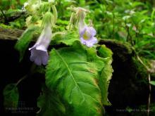 薄叶唇柱苣苔