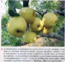 砀山特产:砀山酥梨
