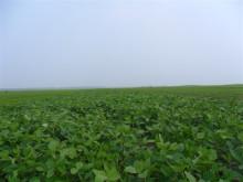 江汉豆生长环境图片