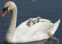 天鹅与小宝宝们