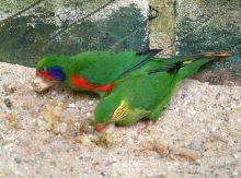 红胁吸蜜鹦鹉