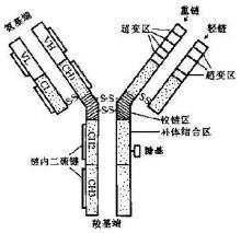 抗体立体模型
