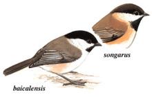 褐头山雀|4|38蜱虫电影图片