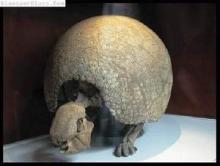 雕齿兽化石