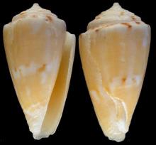 油光纸芋螺