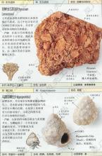 马蹄苔藓虫图片说明