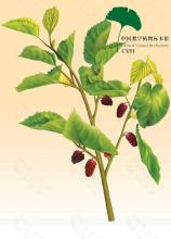 桑叶-原植物