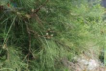 木麻黄属植物:木麻黄