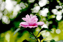 木槿花茶原料——木槿花