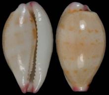 鼠齿宝螺(图册2)