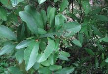 赤壁木属植物