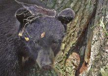 佛罗里达黑熊