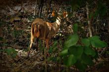 白尾鹿尤卡坦亚种