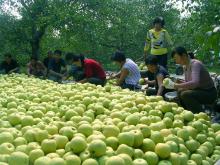 砀山水果:砀山酥梨