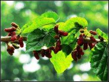 桑叶-原植物果实