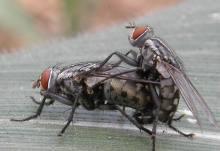 苍蝇的繁殖