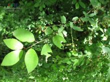 稠李属植物