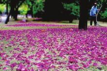 洋紫荆花瓣落英缤纷