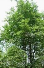 高树圣良种子