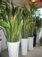 虎尾兰 观赏种植
