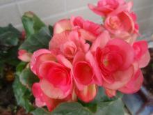 市花--海棠