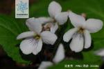 溪堇菜花果