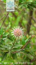 细叶水团花花果