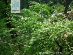 扁刺锦鸡儿枝叶