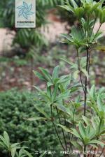 金平木姜子枝叶