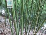 胶南竹根茎