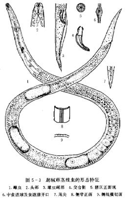 燕麦胞囊线虫