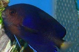 新娘鱼尹jf��_白尾新娘鱼