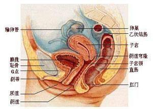巴氏腺囊肿图片