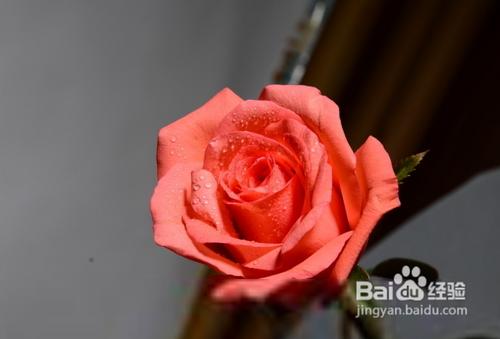 玫瑰花的种植方法