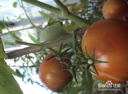 家里怎样种番茄