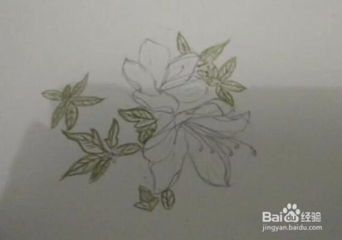 画报花名 手绘铅笔画 白杜鹃花 画法