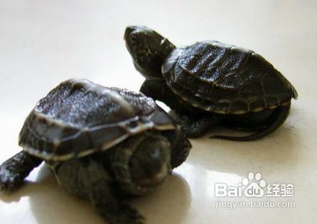 珍珠龟怎么分公母图片