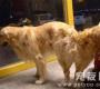人工母狗配种视频