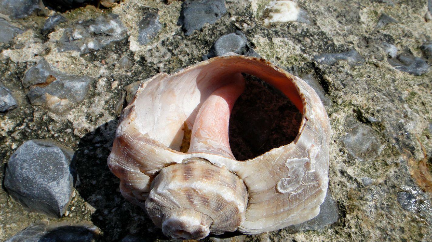 海螺壳图片图片