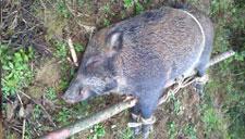 山民拉电线电野猪 一家三口全部触电身亡
